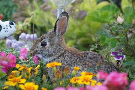 Bunny rabbit in the garden eating flowers.
