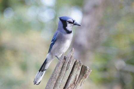 bluejay: Sideview of bluejay perched on a log.