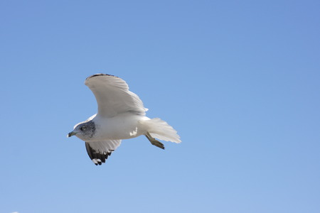 threw: Isolated seagull flying threw the sky. Stock Photo