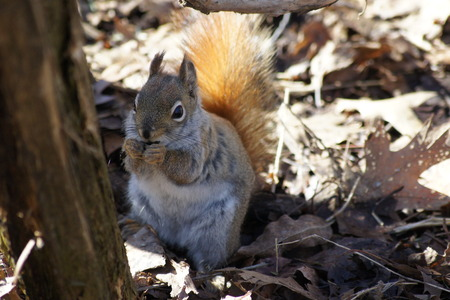 furry tail: Red Squirrel with a sunlit tail.
