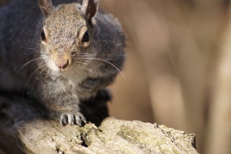 whiskers: Sunlit whiskers on close up of grey squirrel.