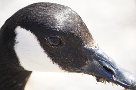 goose head: Goose Head Stock Photo