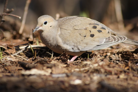 luto: Mourning Dove
