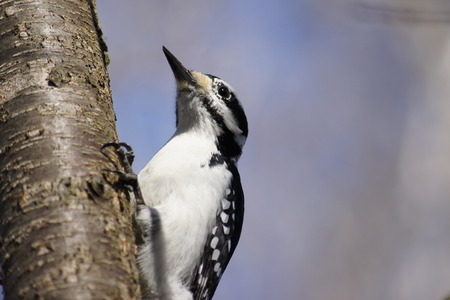 downy woodpecker: Downy Woodpecker and Tree