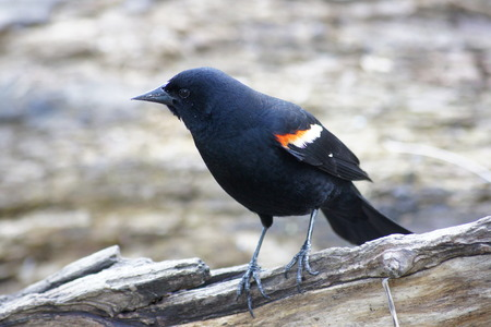 red winged: Close up of red winged black bird.