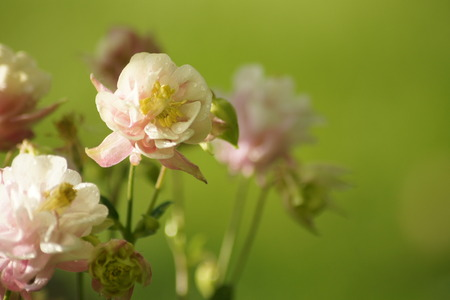 pink columbine: Winky double rose columbine with green grass background.