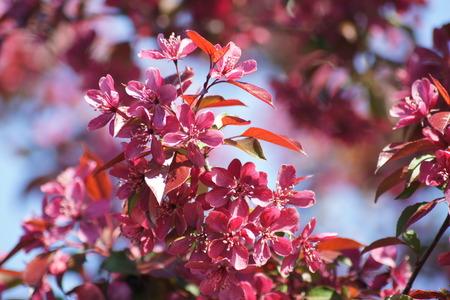 crab apple tree: Flowering Crab Apple Tree in spring. Stock Photo