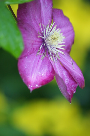 Close up of purple clematis.