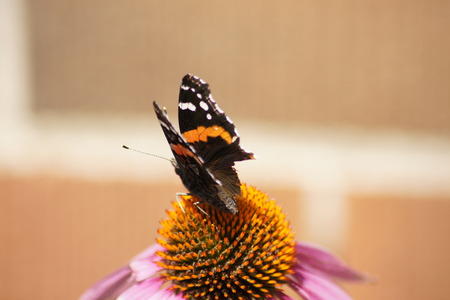 admiral: Red Admiral Butterfly with brick background. Stock Photo