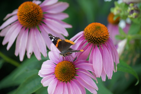 admiral: Coneflower trio and admiral butterfly. Stock Photo