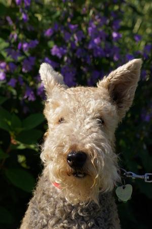 poodle mix: Head shot of Terrier Poodle Mix