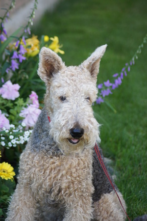 poodle mix: Terrier Poodle Mix, Garden background.