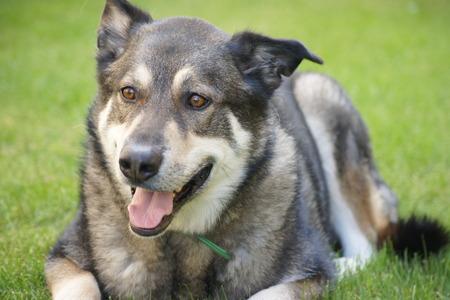 bernese dog: Bernese Husky Dog with green grass background.