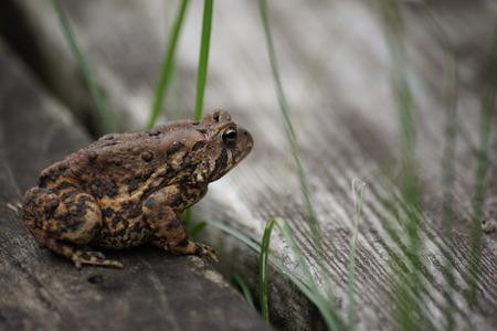 threw: Frog sitting on deck with strands of grass peeking threw