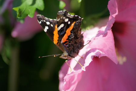 sharon: Red Admiral butterfly on rose of Sharon