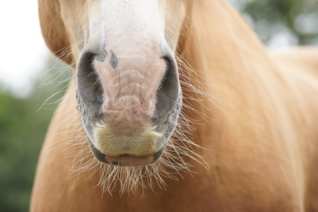 nostrils: Close up of horses whiskers and nose.