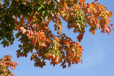 against: Autumn colored leaves against blue sky. Archivio Fotografico