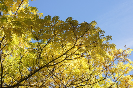 Sunlit yellow leaves meet blue sky.
