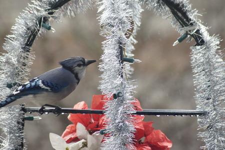 christmas decor: Blue Jay amongst Christmas decor.