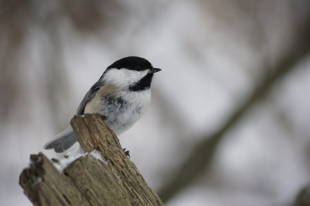 chickadee: Black capped chickadee perched on a fence post. Stock Photo