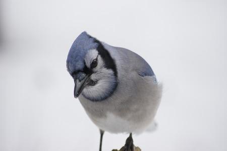 blue jay bird: Close up of blue jay, white snow background.