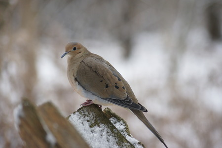 fence post: Close up of mourning dove on snow covered fence post. Stock Photo