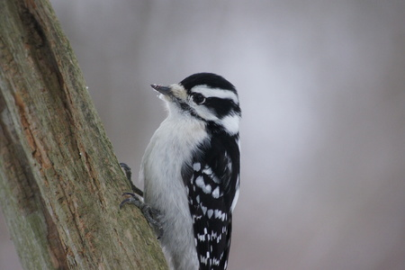 downy woodpecker: Female downy woodpecker on tree. Stock Photo