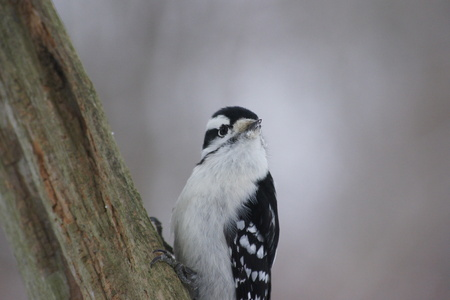 downy woodpecker: Close up of female downy woodpecker.