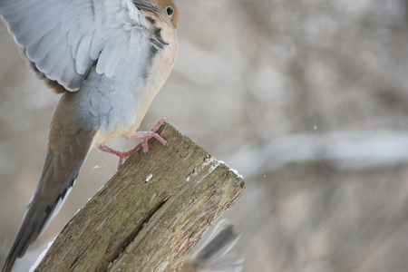 fence post: Mourning dove landing on a fence post.
