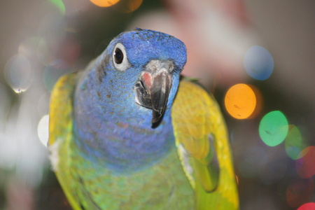 headed: Close up of blue headed pionus parrot with Christmas lights in background, Stock Photo