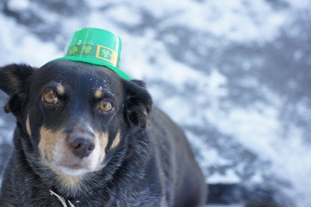 animal st  patricks day: Close up of mixed breed dog wearing a St. Patricks Day hat.