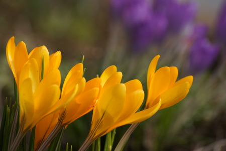 Sunlit yellow crocuses with purple crocuses in the background. Reklamní fotografie