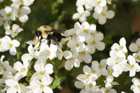 feasting: Bumble bee on white perennials.