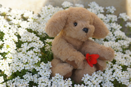 midst: Stuffed dog holds tulips in the midst of white perennial flowers.
