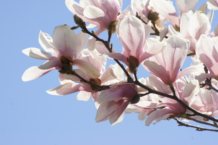 magnolia branch: Branch of the magnolia tree filled with pink blossoms.