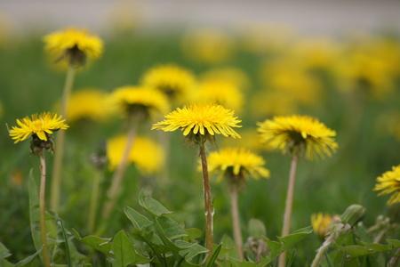 amongst: Field of pretty yellow dandelions amongst the green grass.