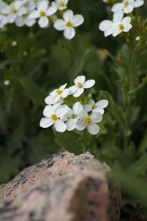 White perennial flowers looking pretty, rock in forground. Stock Photo