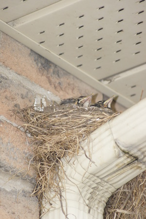 Baby robins  peeking out from the security of their nest. Stock Photo