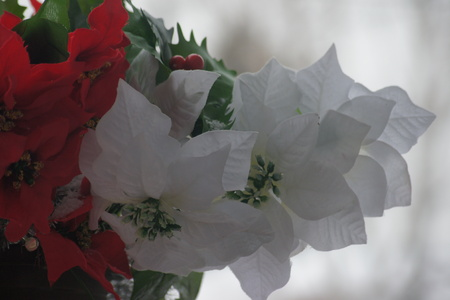 Red and white poinsettias with glowing white background.
