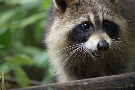 Close up of a wild raccoon showing off his sharp teeth, green forest background.