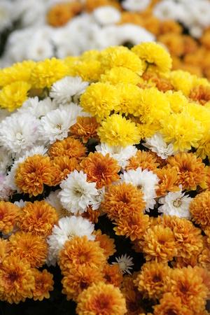 오렌지, 노랑, 흰색 국화 꽃 만개에서 아름 다운가 표시.