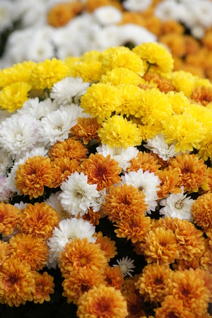 Beautiful fall display of orange, yellow and white chrysanthemum flowers in full bloom. Фото со стока
