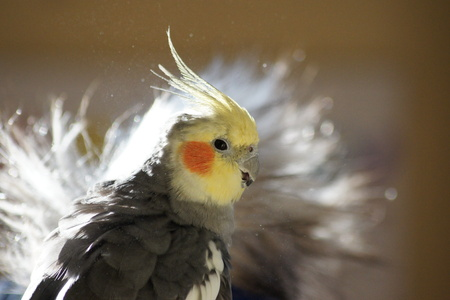 Close up side view of sweet cockatiel, sunlit background.