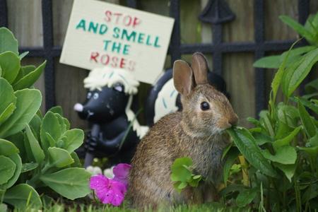 Wild brown bunny munching away in the summer garden.