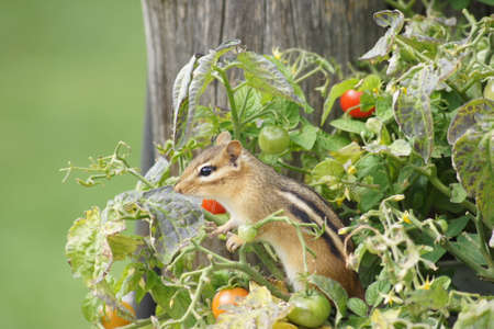 Little chipmunk sitting happily in the midst of a tomato plant. 版權商用圖片