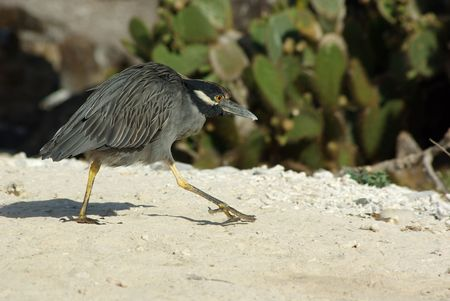 sneaky: Sneaky Heron Stock Photo