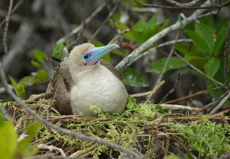 booby: Red Footed Booby In Nest