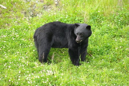 Grazing Black Bear photo