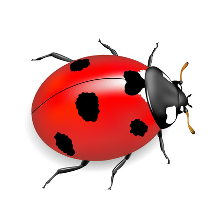 Ladybird on a white background. Insect red.