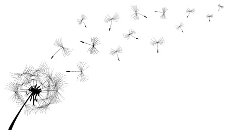 dandelion flower: Dandelion flower in black on a white background.